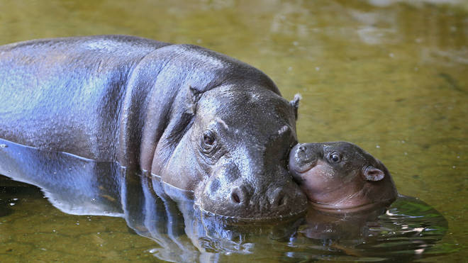 Pygmy hippos are native to West Africa and have been declining numbers