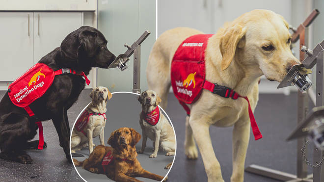 The Medical Detection Dogs are 94 per cent accurate, the study found