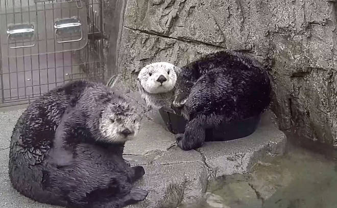 The stream allows you to watch the otters as they go about their daily lives