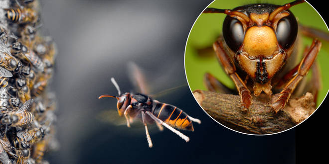 The hornets have been spotted in Jersey (stock images)