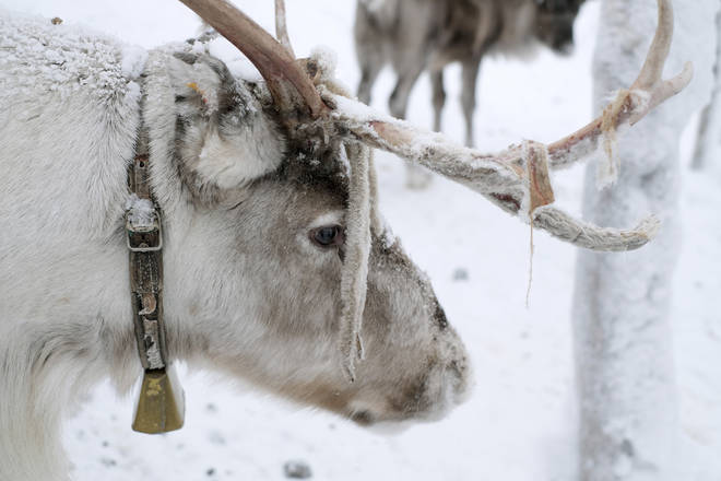 Activists have called for a ban on reindeers being used at Christmas events