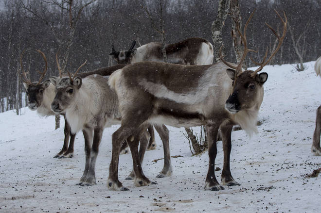 Reindeers pictured in their native Norway