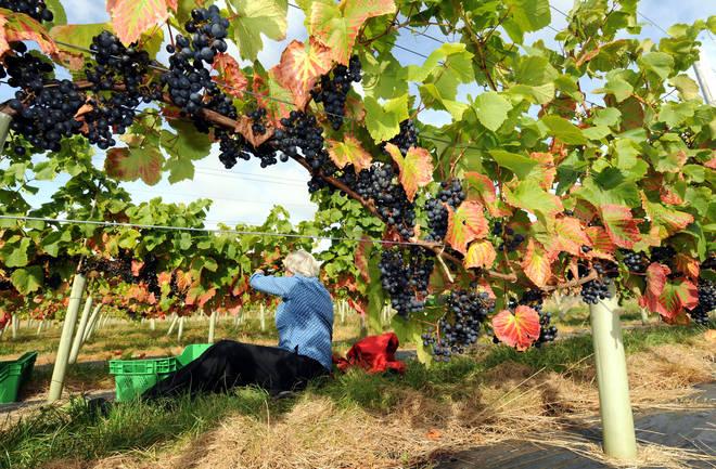 This secret vineyard is close to Scarborough