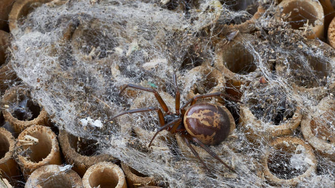 The noble false widow spider reaches a body length of 8.5 - 11 millimetres