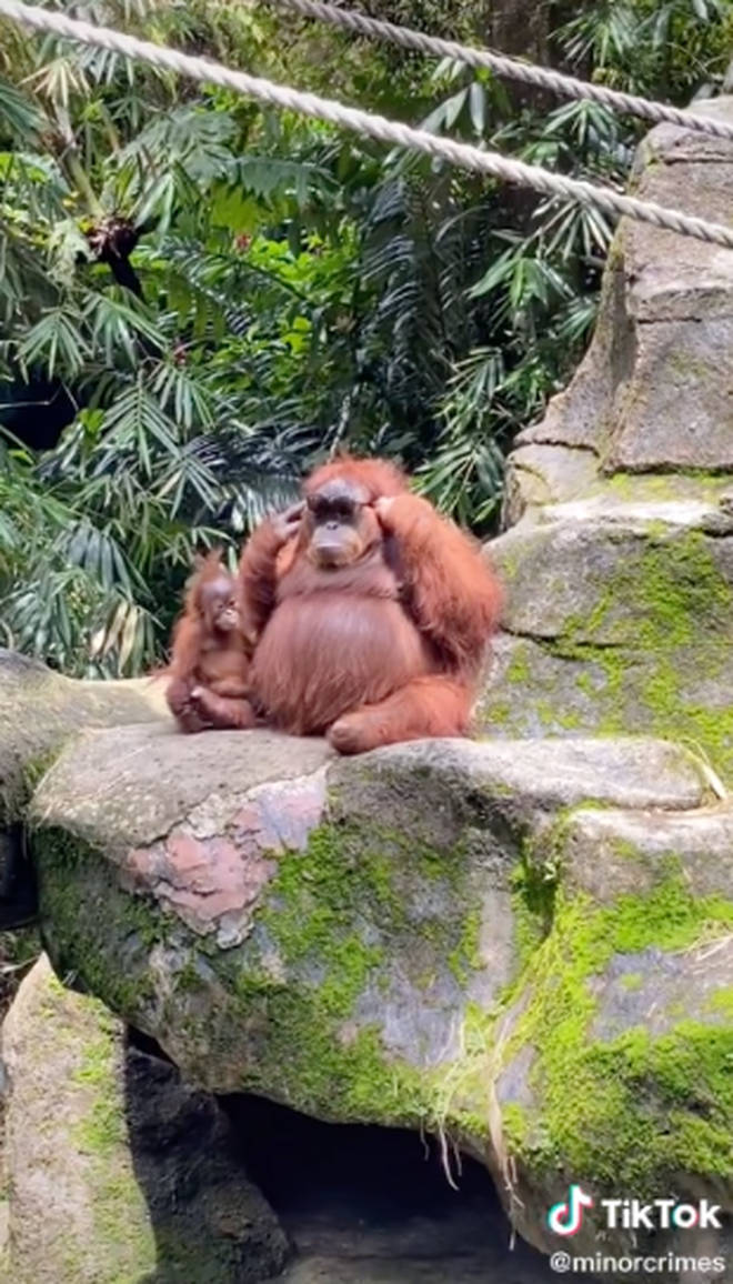The orangutan tried the glasses on in different ways, but managed to get them on properly at the end