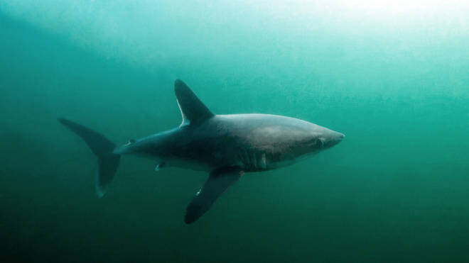 Porbeagle sharks are one of the species of shark previously spotted off the Devon coast
