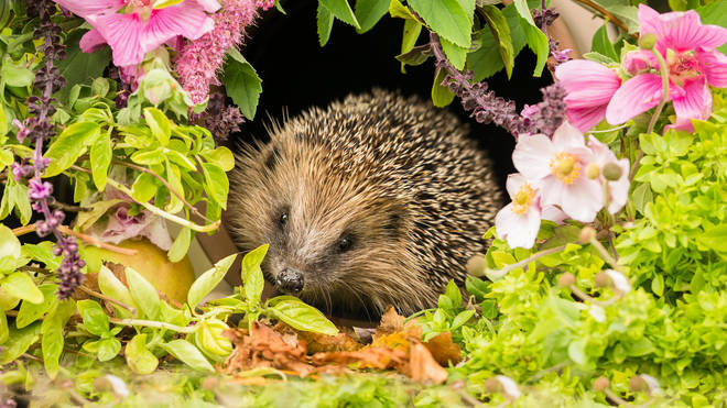 Hedgehogs are native to Britain but under threat of extinction