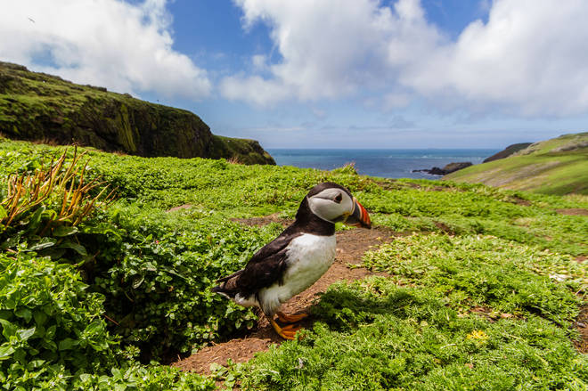 Puffins live on Skomer Island, which is off of the coast of Wales