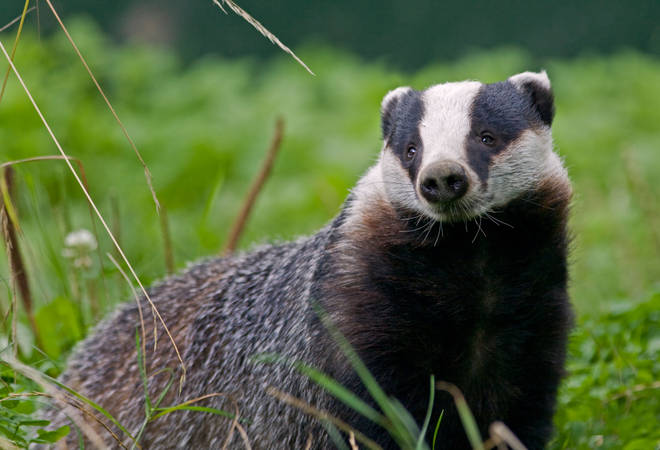 Badgers are found across the UK but their habitat is under threat from humans