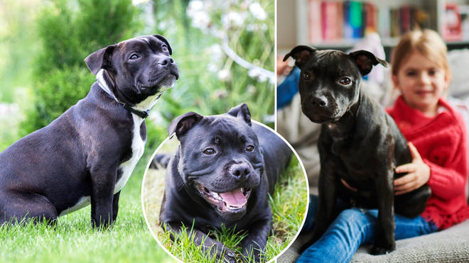 Staffordshire Bull Terriers has taken the top spot on the list of the UK's favourite dog breeds