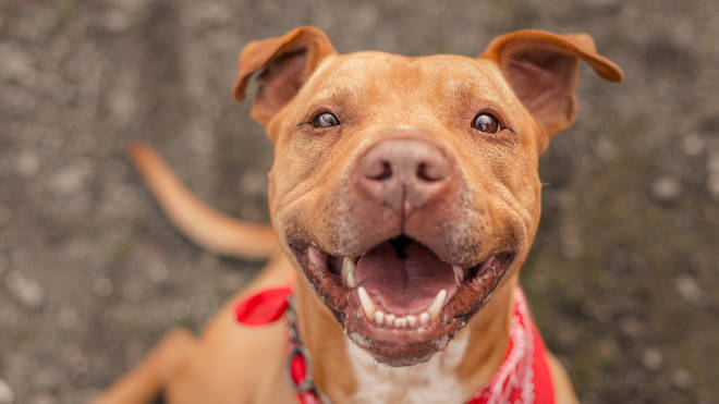 Staffordshire Bull Terriers are known for being courageous and very affectionate with children