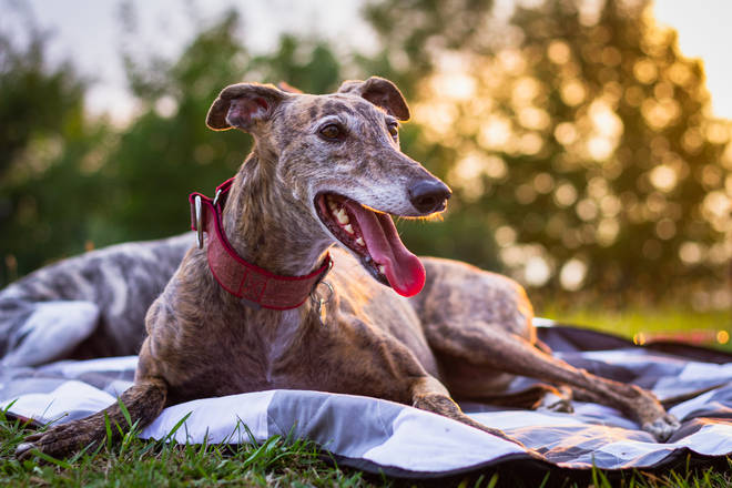 The Greyhound is known to be gentle and affectionate