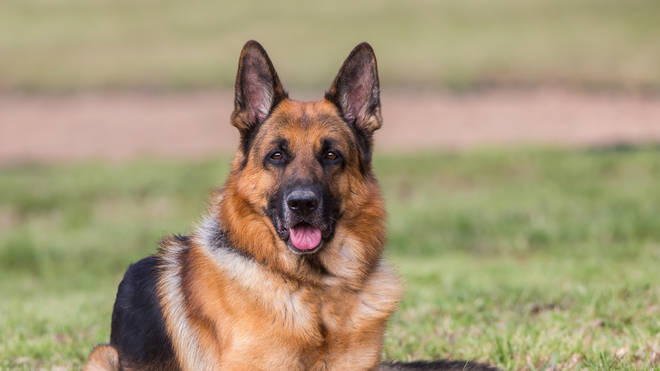 German Shepherds are very intelligent as well as loyal to their owners
