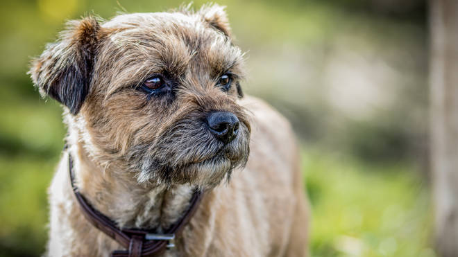 Border Terriers are little dogs with big personalities and low grooming needs