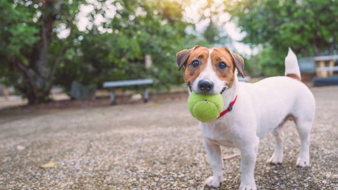 The Jack Russell is a perfect family dog, especially if you have kids over the age of three or four