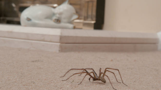 Thousands of spiders are set to invade UK homes