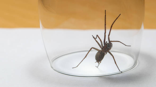 Most UK spiders can't harm humans