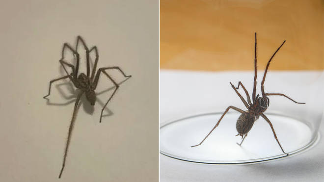 Glasgow council have spoken out about spider season