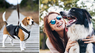 Many dog owners use harnesses when walking their dogs (stock images)