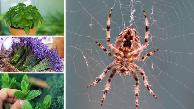 You can simply use house plants to keep your home spider-free