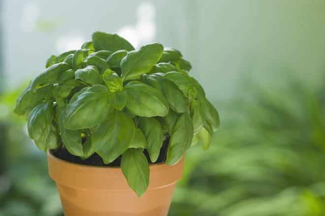 Basil can sit in your kitchen for cooking, and for keeping unwanted pests at bay