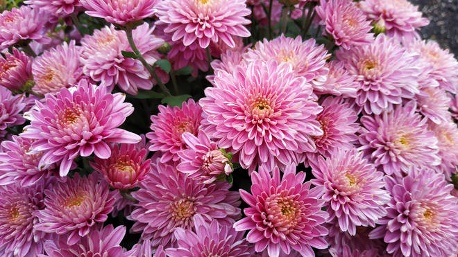 Chrysanthemums contain pyrethrum, an important ingredient in spider repellers