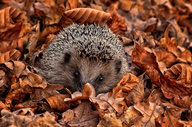 Hedgehogs are among the animals living in Center Parcs' surrounding forest