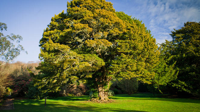 Yew trees can be toxic to your dog