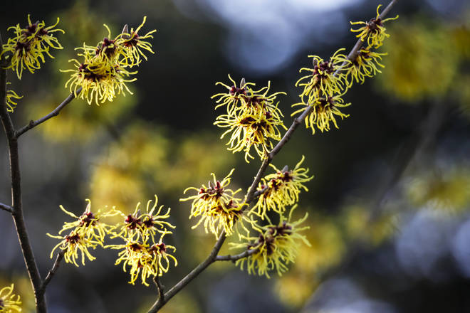 Witch hazel is great for your skin