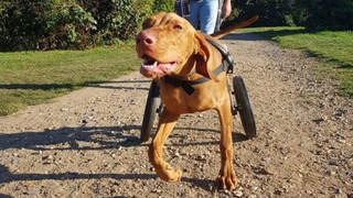 Gilbert was accidentally trodden on as puppy leaving him with a curved spine and muscle wastage to the back legs
