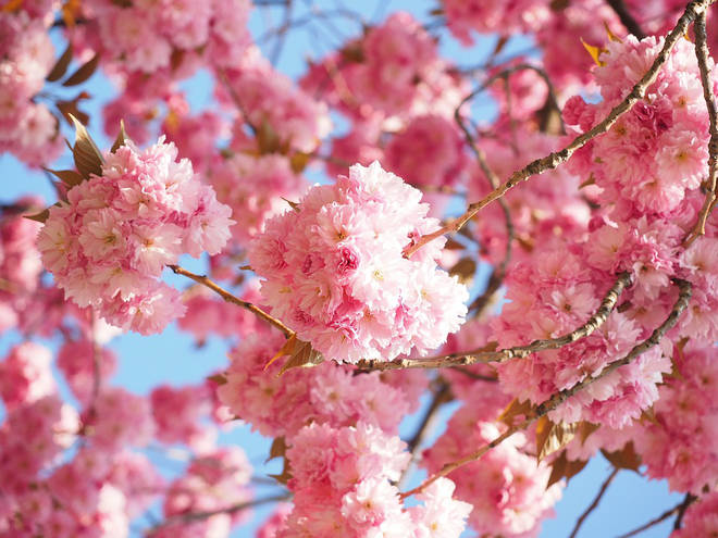 Cherry blossom is one of the best smells in the world