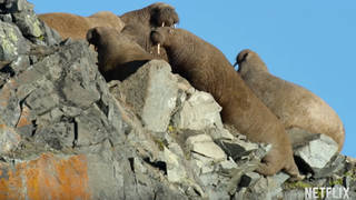 The walrus scene left Our Planet viewers crying