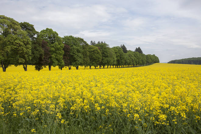 The 'pollen bomb' could pose a threat to the millions of asthma sufferers in the UK