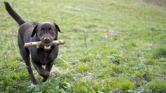 A Labrador from West Yorkshire almost lost her life after a game of fetch