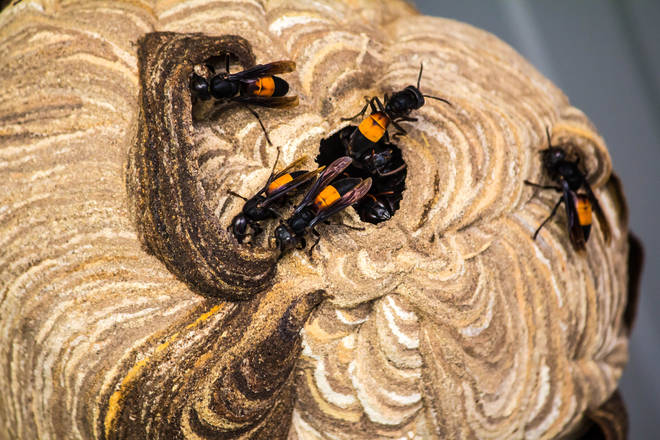 Dozens of hornet nests have been destroyed since the sightings on Jersey