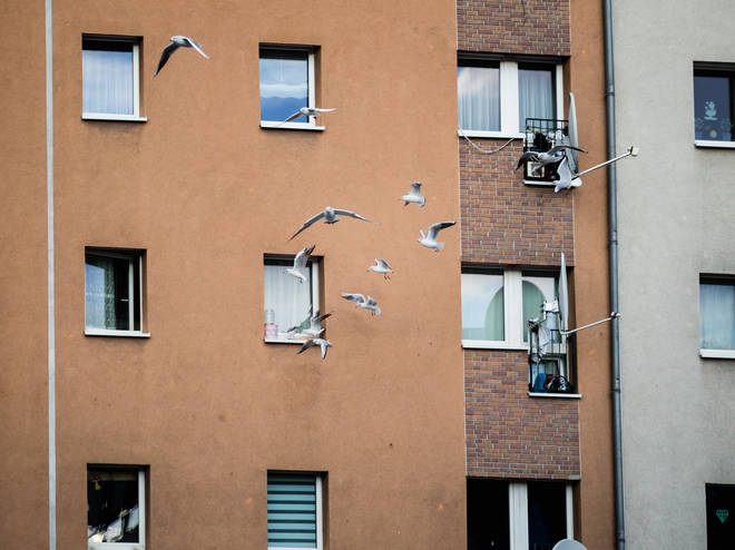 The seagull broke into the flat by pecking through the netting covering their flat window