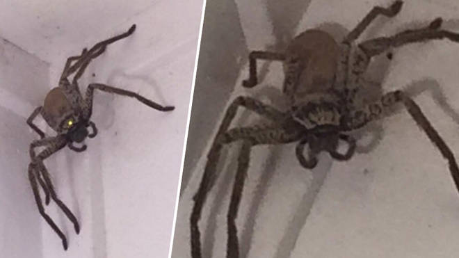 The spider was found in the woman's living room