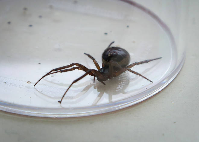 False widow bites can cause some discomfort