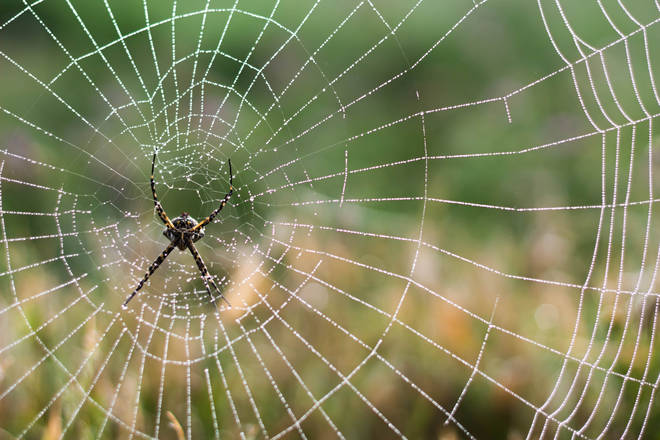The lace web spider is known to bite people