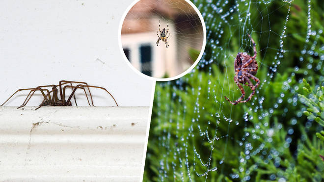 Spiders are set to find cover from the rain in our homes