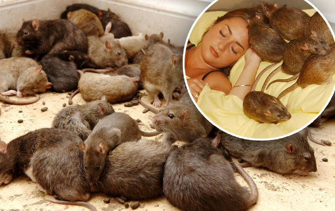Over 120 million rats to invade British homes as rodent population is forced above ground after heavy rain