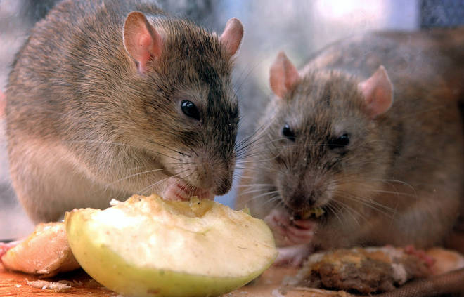 Rats are heading into homes in search of food