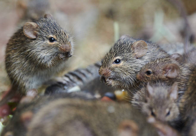 There's an estimates 120 million rats in the UK