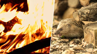 Experts are warning hedgehogs are in danger this Bonfire night