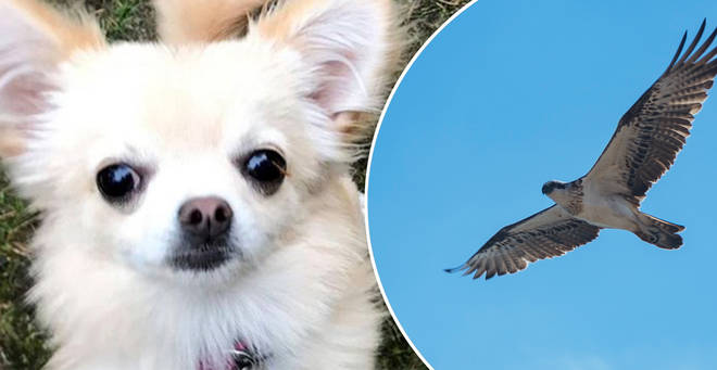 The Chihuahua had a lucky escape after being targeted by a bird of prey