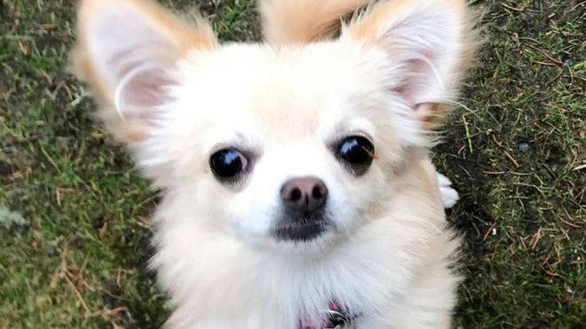 Emma the chihuahua was snatched by a bird of prey